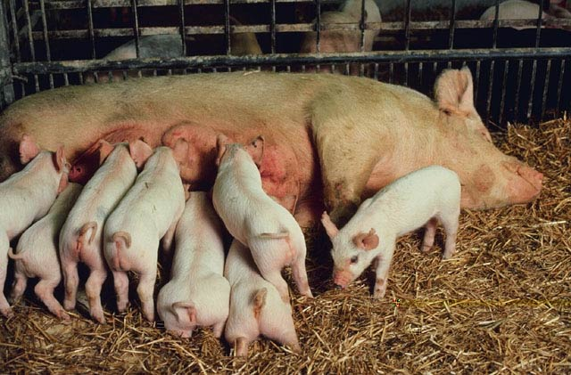 http://www.zgapa.pl/zgapedia/data_pictures/_uploads_wiki/p/Pig_litter_USDA.jpg